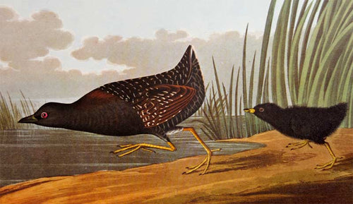 Audubon Amsterdam Print for sale Pl 349 Least Water Hen, detail