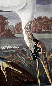 Audubon Amsterdam Print for sale Plate 216 Wood Ibis, detail