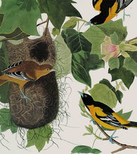 Load image into Gallery viewer, Audubon Princeton Print 12 Baltimore Oriole, detail