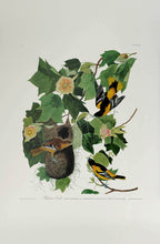 Load image into Gallery viewer, Audubon Princeton Print 12 Baltimore Oriole, full sheet