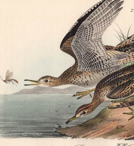 Audubon 1840 First Edition Royal Octavo Print 327 Bartramian Sandpiper, detail