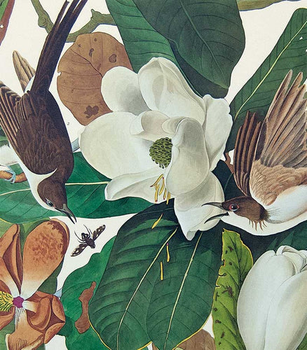Detail of Black-Billed Cuckoo print