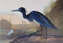 Load image into Gallery viewer, Audubon Princeton Print 307 Blue Crane or Heron, detail