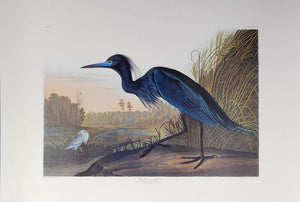 Audubon Princeton Print 307 Blue Crane or Heron, full sheet