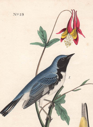 Audubon 1840 First Edition Royal Octavo Print 95 Black-Throated Blue Wood Warbler, detail