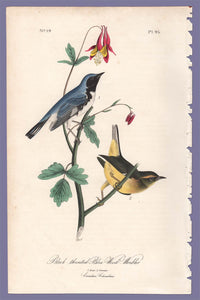 Audubon 1840 First Edition Royal Octavo Print 95 Black-Throated Blue Wood Warbler, full sheet