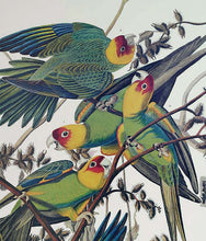 Load image into Gallery viewer, Audubon Princeton Print 26 Carolina Parrot or Parakeet, detail