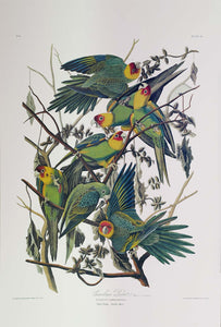 Audubon Princeton Print 26 Carolina Parrot or Parakeet, full sheet