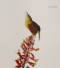 Load image into Gallery viewer, Audubon Princeton Print 78 Carolina Wren, detail