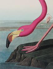 Load image into Gallery viewer, Audubon Princeton Print 431 American Flamingo, detail