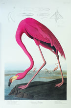 Load image into Gallery viewer, Audubon Princeton Print 431 American Flamingo, full sheet