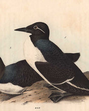 Load image into Gallery viewer, detail of Foolish Guillemot octavo print by Audubon