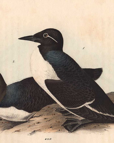 detail of Foolish Guillemot octavo print by Audubon