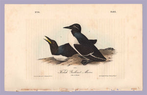 Plate 473 Foolish Guillemot, Murre from Birds of America, Royal Octavo First Edition by John Audubon
