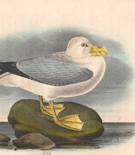Load image into Gallery viewer, Detail of Plate 455 Fulmar Petrel by John J Audubon