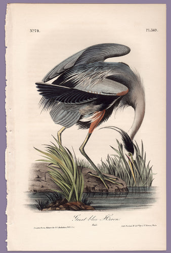 Plate 369 Great Blue Heron, Audubon Octavo Print First Edition