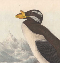 Load image into Gallery viewer, Detail from Audubon's Horn-Billed Guillemot - 1840 Octavo First Edition