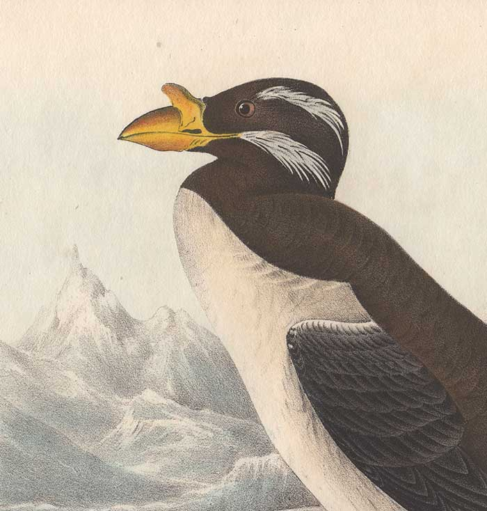 Detail from Audubon's Horn-Billed Guillemot - 1840 Octavo First Edition