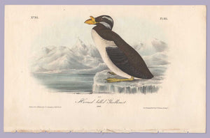 Plate 471 Horn-Billed Guillemot, 1840 Audubon Octavo First Edition