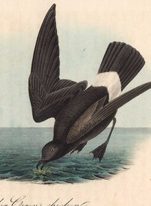Detail of Least Petrel octavo print by Audubon