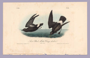 Plate 461 Least Petrel, 1840 Audubon Octavo First Edition