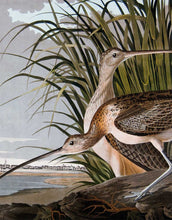 Load image into Gallery viewer, Detail of Princeton Audubon Print Plate 231 Long-Billed Curlew