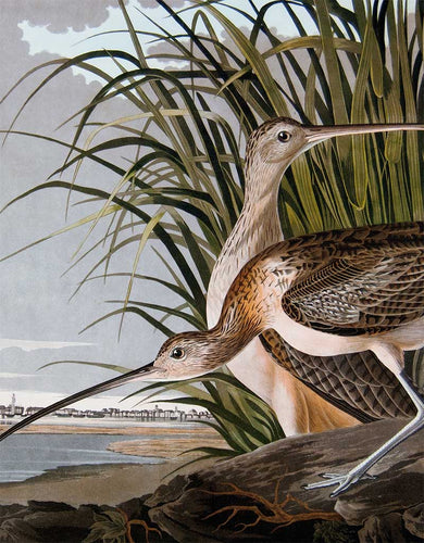 Detail of Princeton Audubon Print Plate 231 Long-Billed Curlew