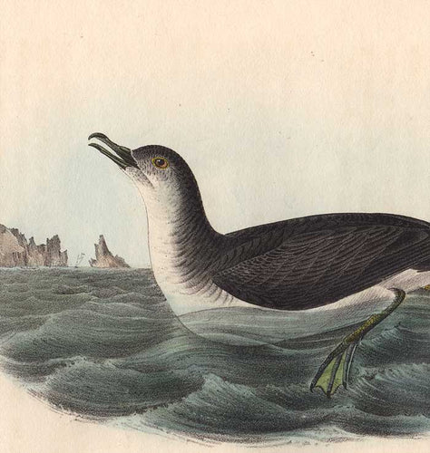 Detail of Octavo, Mank's Shearwater