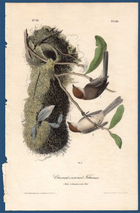 Audubon Octavo Print First Edition for sale Pl 130 Chestnut Crowned Titmouse, full sheet