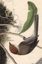 Load image into Gallery viewer, Audubon Octavo Print First Edition for sale Pl 130 Chestnut Crowned Titmouse, detail