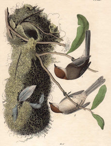 Audubon Octavo Print First Edition for sale Pl 130 Chestnut Crowned Titmouse, closer view