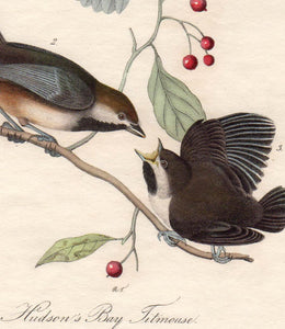 Audubon Octavo Print First Edition for sale Pl 128 Hudson's Bay Titmouse, detail