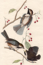Load image into Gallery viewer, Audubon Octavo Print First Edition for sale Pl 128 Hudson's Bay Titmouse, closer view