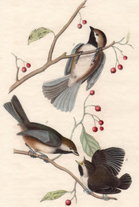 Audubon Octavo Print First Edition for sale Pl 128 Hudson's Bay Titmouse, closer view