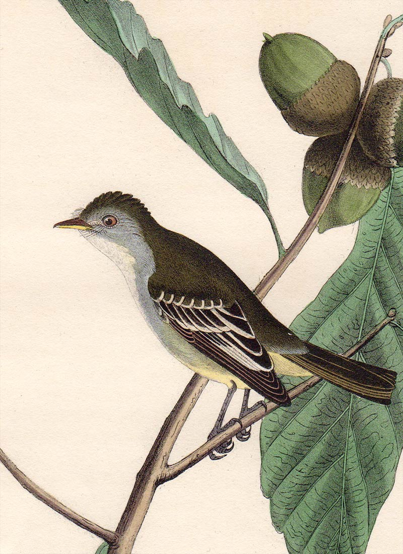 Audubon First Edition Octavo Print for sale Pl 66 Least Pewee Flycatcher, detail