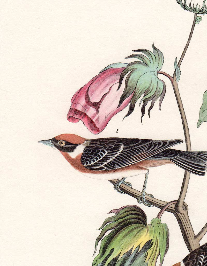 Audubon First Edition Octavo Print for sale Pl 80 Bay-Breasted Wood Warbler, detail