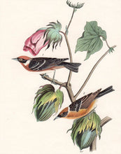 Load image into Gallery viewer, Audubon First Edition Octavo Print for sale Pl 80 Bay-Breasted Wood Warbler, closer view