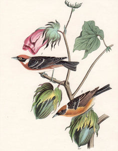 Audubon First Edition Octavo Print for sale Pl 80 Bay-Breasted Wood Warbler, closer view