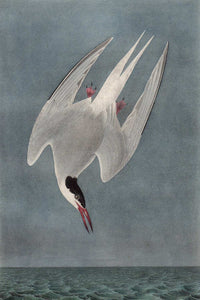 Audubon Octavo Print for sale Plate 436 Arctic Tern 1840 First Edition, detail