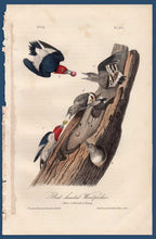 Load image into Gallery viewer, Audubon Octavo Print for sale Plate 271 Red Headed Woodpecker 1840 First Edition, full sheet