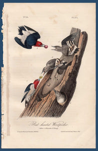 Audubon Octavo Print for sale Plate 271 Red Headed Woodpecker 1840 First Edition, full sheet