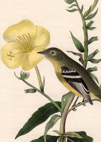 Audubon Octavo Print for sale Plate 490 Yellow Bellied Flycatcher 1840 First Edition, detail