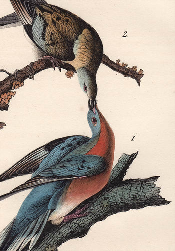Audubon 1840 First Edition Royal Octavo Print 285 Passenger Pigeon, detail