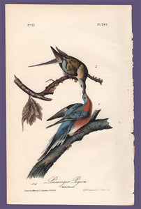 Audubon 1840 First Edition Royal Octavo Print 285 Passenger Pigeon, full sheet