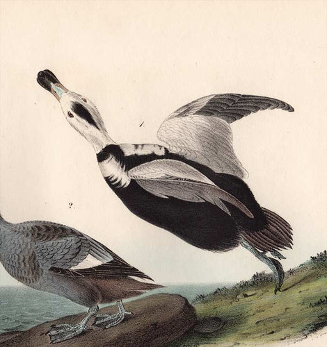 Original First Edition Audubon Octavo Print, plate 400 Pied Duck, detail