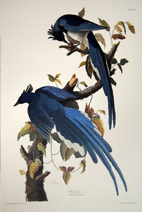 Audubon Princeton Print for sale Pl 96 Columbia Magpie or Jay, full sheet view