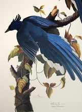 Load image into Gallery viewer, Audubon Princeton Print for sale Pl 96 Columbia Magpie or Jay, detail