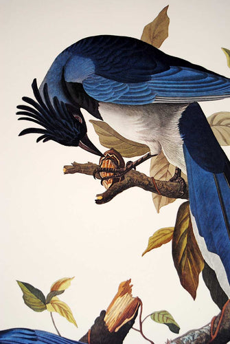 Audubon Princeton Print for sale Pl 96 Columbia Magpie or Jay, detail