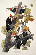 Load image into Gallery viewer, Plate 111 Pileated Woodpecker Audubon Princeton Edition Print