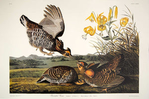 Audubon Princeton Print for sale Plate 186 Pinnated Grous, full sheet view